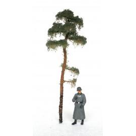 borovice - 15 cm