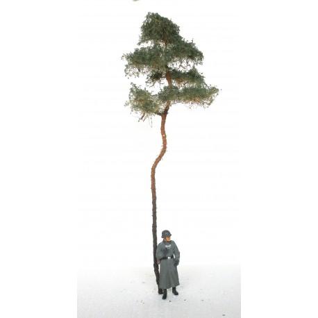 borovice - 20 cm